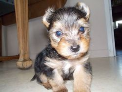 Fly, chien Yorkshire Terrier