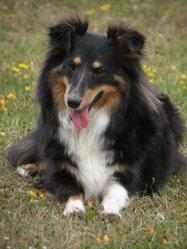 Fly-Girl, chien Berger des Shetland