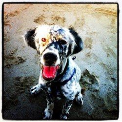 Flyleaf, chien Setter anglais