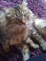 Fochka, chat Sibérien