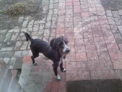 Fochka, chien Cocker anglais