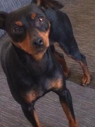 Foebe, chien Pinscher