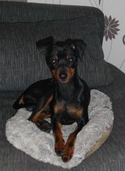 Foebo, chien Pinscher