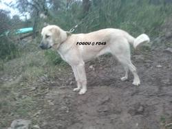 Fogou Fd4s, chien Berger d'Anatolie
