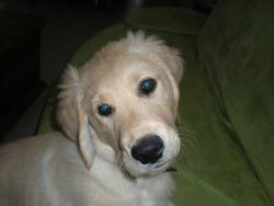 Holiver, chien Golden Retriever