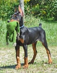Folcan, chien Dobermann