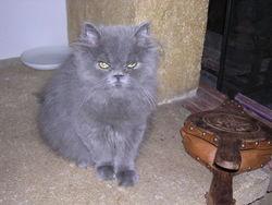 Folie, chat Persan