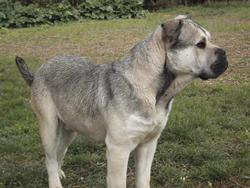 Folk Du Temple Du Phoenix, chien Dogue de Majorque