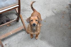 Folka, chien Teckel