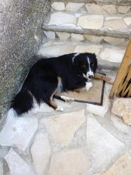 Folkun, chien Border Collie