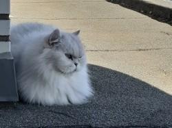 Follet, chat Persan