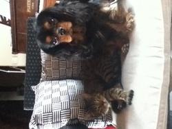 Follet, chien Cavalier King Charles Spaniel