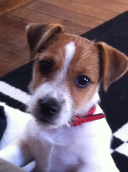 Follow, chien Jack Russell Terrier