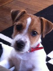 Follow, chien Jack Russell Terrier