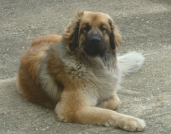 Folly, chien Leonberger