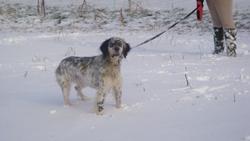 Folta, chien Setter anglais