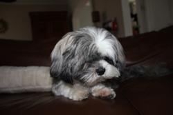 Foly, chien Lhassa Apso
