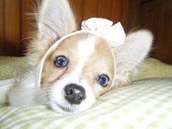 Fonzie, chien Chihuahua
