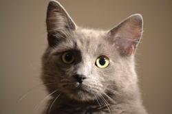 Fonzie, chaton Nebelung