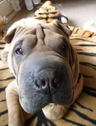 Fonzy, chien Shar Pei