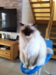 Fonzy, chat Birman
