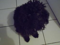 Fonzy, chien Caniche