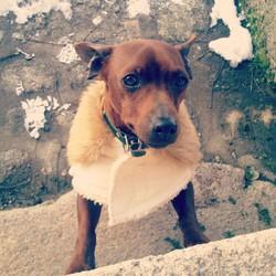 Fonzy, chien Pinscher