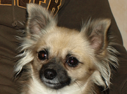 For Crystal, chien Chihuahua