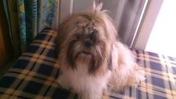 Forever, chien Shih Tzu