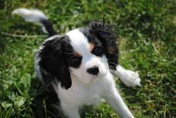 Forrest, chien Cavalier King Charles Spaniel