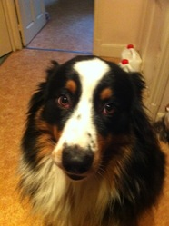 Foster , chien Berger australien