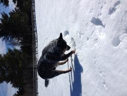 Foster, chien Bouvier d'Australie