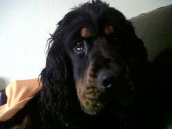 Foster, chien Cocker anglais