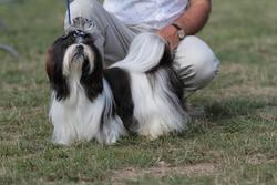 Fou-Lu-Pay Du Domaine Des Atlantes, chien Shih Tzu