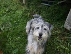 Fouéce, chien Berger des Pyrénées