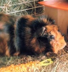 Foufi, rongeur Cochon d'Inde