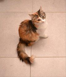 Fouinette, chat Européen