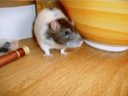 Fouinot Dé Zapizza, rongeur Rat