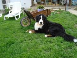 Foulkan, chien Bouvier bernois
