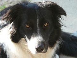 Fousilh, chien Border Collie