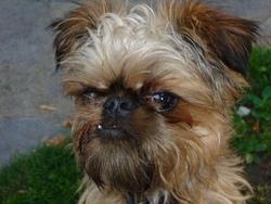 Fox, chien Griffon bruxellois