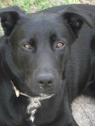 Fox, chien Labrador Retriever