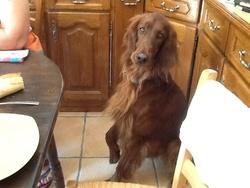 Fox, chien Setter irlandais