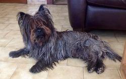 Fox, chien Cairn Terrier