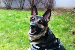 Fox Sierra, chien Berger allemand