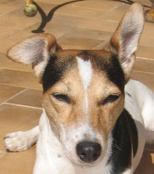 Foxie, chien Jack Russell Terrier