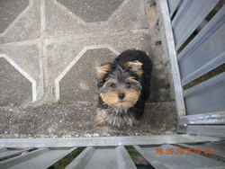 Foxie, chien Yorkshire Terrier