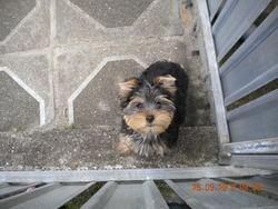 Foxie, chien Yorkshire Terrier