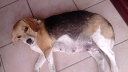 Foxie, chien Beagle