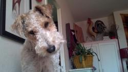 Foxtrot'H, chien Fox-Terrier
